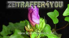 Eibisch Hibiskus Hibiscus Blooming Timelapse Zeitraffer rosemallow bladd...