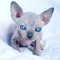 Someone from Alberta is cheating cat lovers by selling them shaved kittens. These shaved kittens were sold in the market as the hairless Sphynx cats. I Love Cats, Cute Cats, Funny Cats, Baby Cats, Baby Animals, Cute Animals, Fluffy Kittens, Cats And Kittens, Sphinx Cat