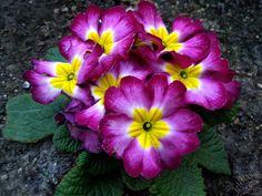 Gram's birth flower: the primrose flower :)