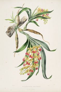 Galeandra baueri. Produces racemes of bright, fragrant bell-shaped flowers. Epiphytic orchid often found on palm trees at elevations of 2,500-4,000 feet. Native from Mexico to Colombia. The Orchidaceae of Mexico and Guatemala (1837-1843) [Sarah Ann Drake}