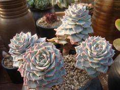 echeveria  ermosa by 신영미, via Flickr