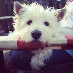 i <3 westies!!! i have one and they are the best dogs ever!