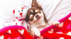 Dog Bath: Safety Tips for Bathing Your Dog Cute Chihuahua, Chihuahua Puppies, Cute Puppies, Best Dog Breeds, Best Dogs, Sleep Teddies, Sleeping Puppies, Snuggles, Your Dog