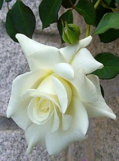 Blanca perfecta