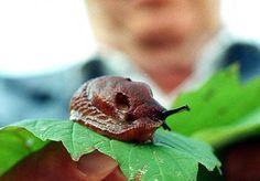 Kært barn har mange navne, lyder et ordsprog. Dog ikke med den Iberiske Skovsnegl, bedst kendt under navnet Dræbersneglen. Her følger en guide.