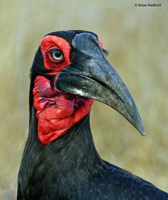 Southern Ground-hornbill (Bucorvus leadbeateri) Portrait.