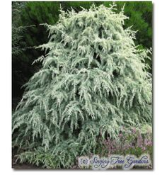 Singing Tree Gardens: Dwarf Conifers, Deodora Silver Mist perfect little tree that grows to 4 ft in 10 yrs. white needles with lime green shading. Needs part shade since will burn in full sun.