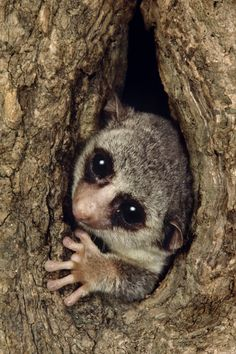 a fat tailed dwarf lemur peeks out of a tree in madagascar photograph by