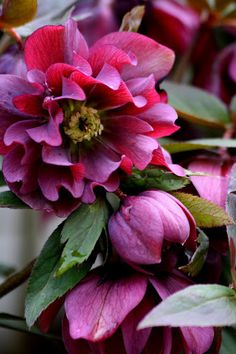 Hellebores bloom in late WINTER flowers-i-love Exotic Flowers, Amazing Flowers, My Flower, Flower Power, Beautiful Flowers, Beautiful Pictures, Shade Garden, Garden Plants, Fruit Garden