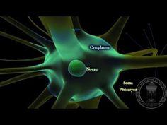 Physiologie du système nerveux : Neurone - partie 1 - YouTube