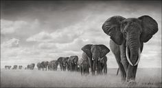 Nick Brandt, Elephants Walking Through Grass, Amboseli, 2008. Archival pigment print, 40 x 73 inches. Edition of 8. Courtesy the artist and Hasted Kraeutler, NYC
