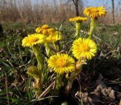 Podbeľ liečivý sa využíva pri ochoreniach dýchacích ciest, na podporu trávenia i na elimináciu opuchov Flora, Essential Oils, Herbs, Detox, Nature, Plants, Gardening, Syrup, Naturaleza