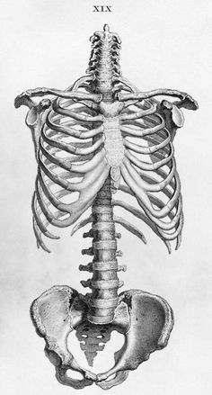 Human skeleton torso ribcage and pelvis anatomy drawing from William Cheselden's Osteographia, Skeleton Drawings, Human Skeleton, Art Drawings, Skeleton Art, Drawing Faces, Anatomy Bones, Body Anatomy, Gross Anatomy, Pelvis Anatomy