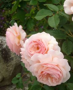 'A Shropshire Lad' roses