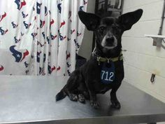 This DOG - ID#A466822 - URGENT - Harris County Animal Shelter in Houston, Texas - ADOPT OR FOSTER - Male Dachshund/Chihuahua - at the shelter since Aug 25, 2016.