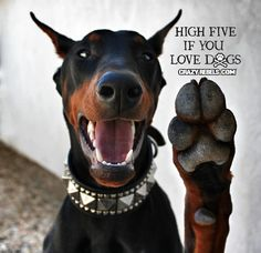 doberman love