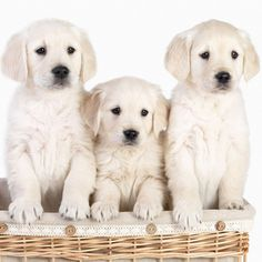 16 Best Yellow Labrador Greeting Cards Images