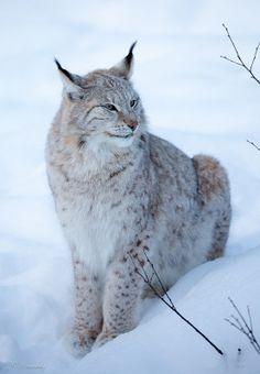˚Lynx in the snow