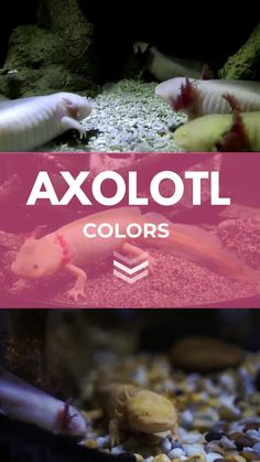 The axolotl is a fascinating creature starting from their different colors. After reading an article on axolotls, I thought it was interesting that these creatures can look too different from their parents and the other siblings due to the different genetic makeup. It is also the cause of the different colors of axolotls. #axolotl #axolotls #WalkingFish  #AxolotlColors #MexicanSalamander Axolotl Care, Unique Colors, Different Colors, Dark Eye Circles, Albinism, Clear Eyes, Types Of Fish, Dark Eyes, Reptiles And Amphibians
