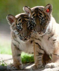Tiger cubs ❤