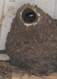 Swallow in its mud house