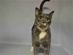SURI - A1065112 - - Brooklyn  Please Share:*** TO BE DESTROYED 12/14/16 *** Suri is a handsome young kitty with a quirky and adorable face! He was surrender by his previous owner due to his medical problem, but he is simply the sweetest kitty! He's affectionate, loves getting cheek rubs, and is always up for playtime! He needs follow up medical care for his urinary issues. -  Click for info & Current Status: http://nyccats.urgentpodr.org/suri-a1065112/