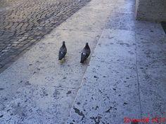 pigeon's couple!
