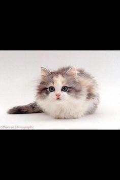 #Cats  #Cat  #Kittens  #Kitten  #Kitty  #Pets  #Pet  #Meow  #Moe  #CuteCats  #CuteCat #CuteKittens #CuteKitten #MeowMoe      Ready to pounce '. ...   http://www.meowmoe.com/77450/