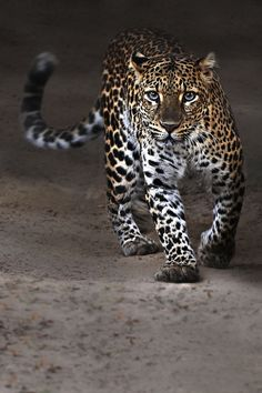 Adorable beautiful leopard in a walking style.... click on picture for more