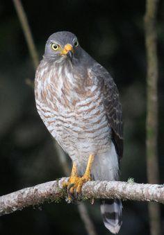 Buteo magnirostris / Gavilán caminero / Roadside Hawk