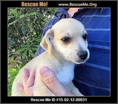 Rescue Me ID: 15-02-12-00031Bambi (female)  Silky Terrier Mix  Age: Young Puppy   Bambi is a sweet terrier looking for her forever home. She is up to date on shots and will be microchipped and spayed prior to adoption.  Adoption Fee: $295Animal Location:  Angels for Animals Rescue San Bernardino County Rancho Cucamonga, CA 91701 MAP IT!