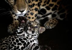 A one-week-old jaguar cub plays with her mother Rosa Salvaje at the National Zoo in Managua, Nicaragua