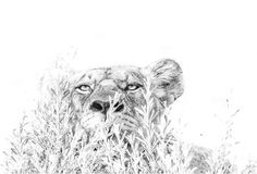 Lion laying in ambush. Wall art image in BW by wildlife photographer Dave Hamman