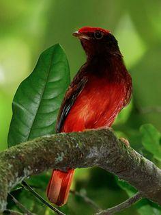 Guianan Red Cotinga, Glenn Bartley