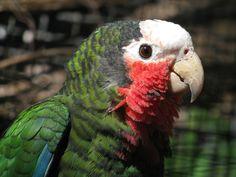 Parrot,_Cuban_DonarReiskoffer.jpg (1024×768)