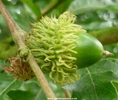 Acorn of the Turkey Oak (quercus cerris)