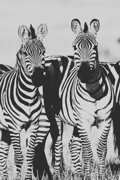 If my friend saw this, she'd totally freak because she loves zebras like is addicted to zebras Large Animals, Cute Animals, Mountain Zebra, Plains Zebra, Mundo Animal, Zebras, Zebra Print, Spirit Animal, Beautiful Creatures