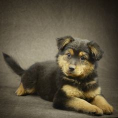 A1-Sheltie Puppies is an adoptable Shetland Sheepdog Sheltie Dog in Plano, TX. This is a Sheltie mix DOB 9/12/2012. These cutie pies are of alitter of six and just so cute and ready to melt your hear...