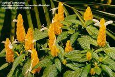 Golden Shrimp Plant, (Pachystachys lutea) by MusaRojo