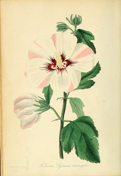 All sizes | Hibiscus syriacus - Rose of Sharon - circa 1868 - circa 1836 | Flickr - Photo Sharing!