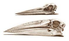 Skull of a White Stork. Skull of a Marabou Stork