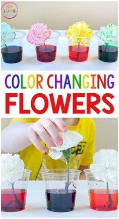 I just love this color changing flowers science experiment! It's a fun spring science activity for kids in preschool and elementary. Free printable recording sheets too! #scienceforkids #scienceexperiments #STEM #preschoolscience