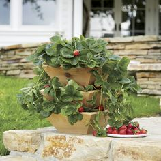 Imagine a bounty of homegrown strawberries, ripe for the picking. This cedar wood and plastic system features a stackable design that allows up to 28 strawberry plants to grow vertically in an ideal environment. Drip saucer included for indoor use.