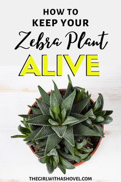 Never have a haworthia die again with these easy-to-follow care tips! FOLLOW THESE SIMPLE HAWORTHIA CARE TIPS TO KEEP YOUR PLANT ALIVE AND HEALTHY! Haworthia Care Tips | Zebra Plant Care | How to Care for a Haworthia | Zebra Plant Succulents Care | Haworthia Zebra Plant Care | Indoor Zebra Plant Care | Zebra Plant Care Houseplant |