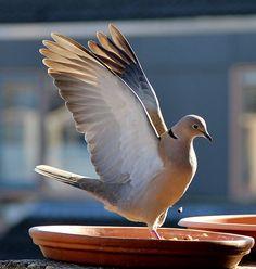 Vroege Vogels: Turkse tortel