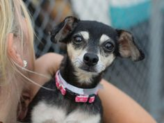 SUPER URGENT LULU – A1045346  FEMALE, TRICOLOR, CHIHUAHUA SH MIX, 8 yrs OWNER SUR – EVALUATE, NO HOLD Reason PERS PROB Intake condition UNSPECIFIE Intake Date 07/25/2015, From NY 11213, DueOut Date 07/25/2015,