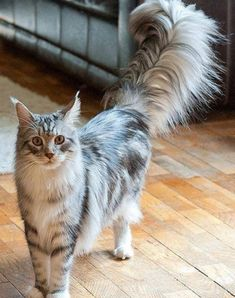 So Pretty.  Looks like a Mane Coon Cat ... Yup, their tails are like that.