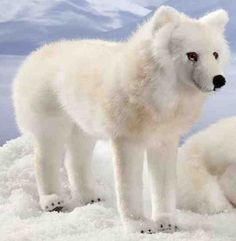 Kosen 6060 Arctic Fox on all fours