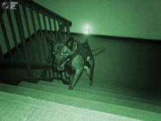 A military working dog outfitted with its own equipment and light heads up the steps of a building in this undated handout image from the Canadian company K9 Storm Inc. which manufactures a range of specialized gear that includes high-tech canine flak jackets and tactical body armor. Military Working Dog locating target in building search in zero light conditions. The K9 Storm Intruder provides real time video feed back to the operator through multiple fortified barriers. Intruder night...