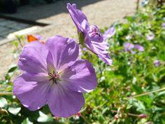 Geranium Rozanne, Chelsea flower show plant of the century. In the garden at Manoir de la Pigeonnerie, Loire Valley, France